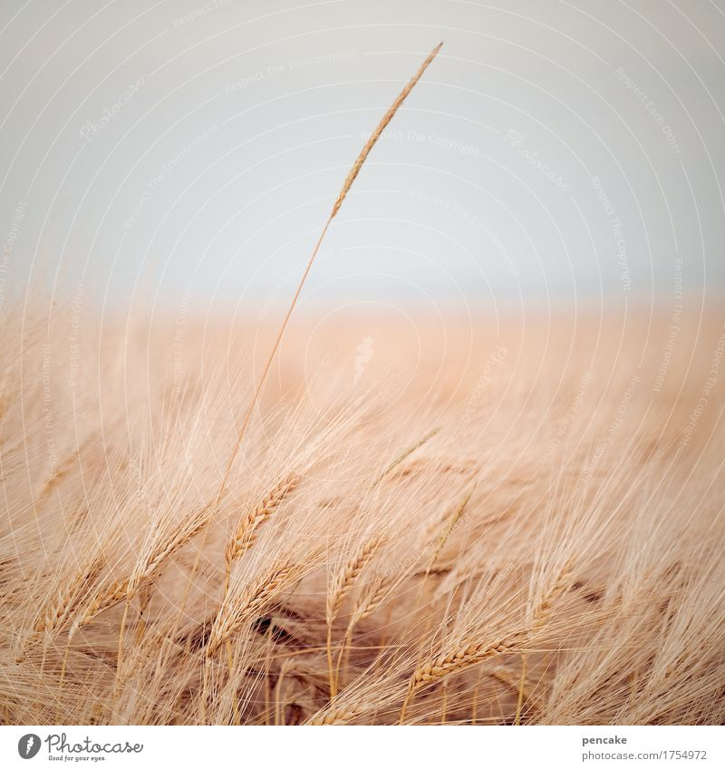 field study Nature Landscape Summer Autumn Plant Field Infinity Warmth Soft Relationship Design Life Ease Survive Far-off places Individual Rye Grain Horizon