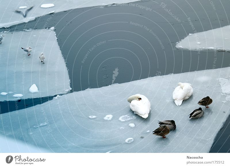 icebirds Colour photo Exterior shot Deserted Day Environment Nature Animal Water Winter Ice Frost River Wild animal Bird Swan Wing Group of animals Flying Sleep
