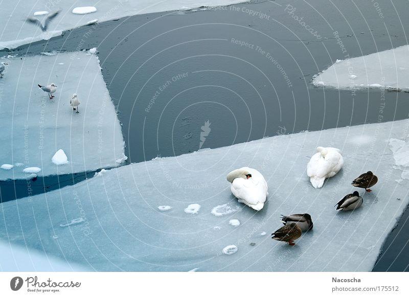 Nature Water Blue White Winter Calm Animal Cold Environment Ice Bird Flying Swimming & Bathing Sleep Wild animal Wing