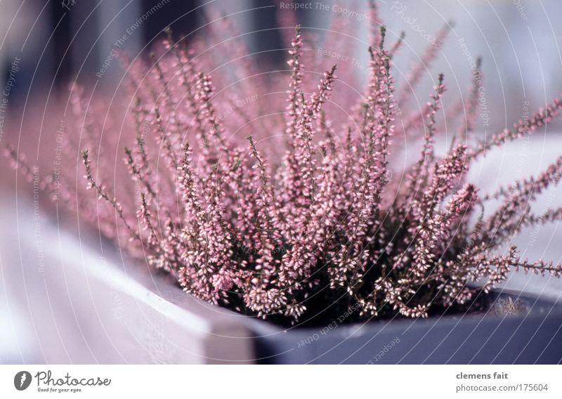 Plant Garden Pink Contentment Esthetic Authentic Hope Violet Balcony Fragrance Terrace Purity