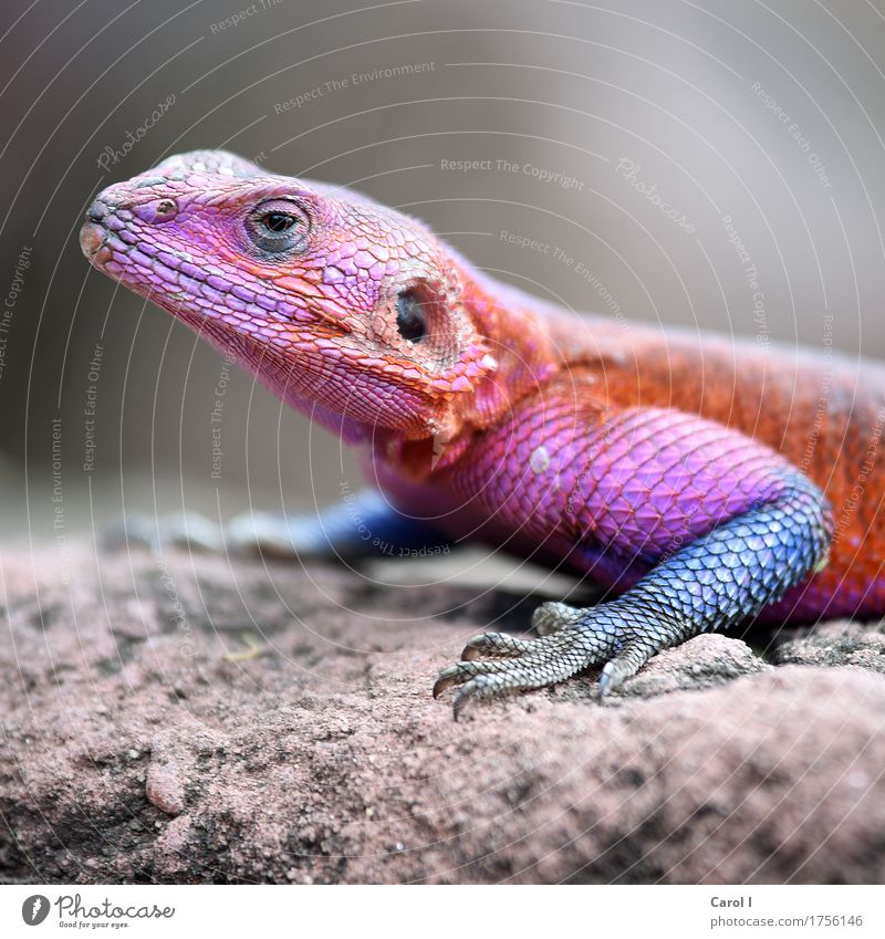 It's carnival today. Elegant Face Eyes Nature Rock Park Animal Animal face Scales Gecko Lizards 1 Exceptional Crazy Warmth Blue Multicoloured Violet Orange Pink
