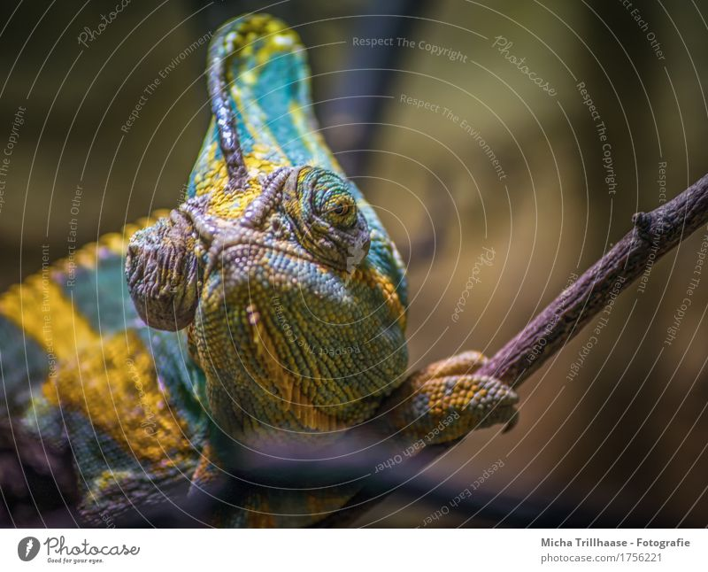 chameleon Sunbathing Nature Animal Sunlight Wild animal Animal face Claw Chameleon 1 Observe Crawl Looking Sit Exotic Near Natural Warm-heartedness