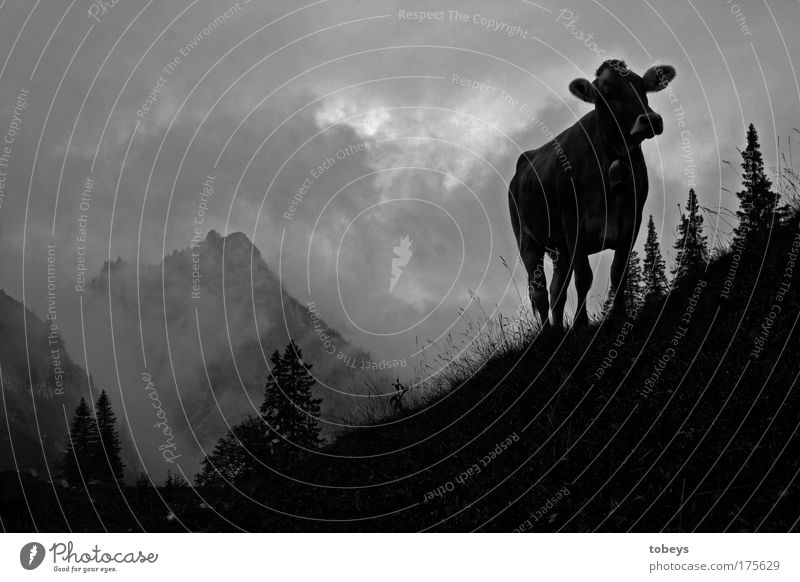 Nature Vacation & Travel Clouds Mountain Rock Field Fog Hiking Alps Peak Hill Climbing Cow Bavaria Mountaineering Aggression