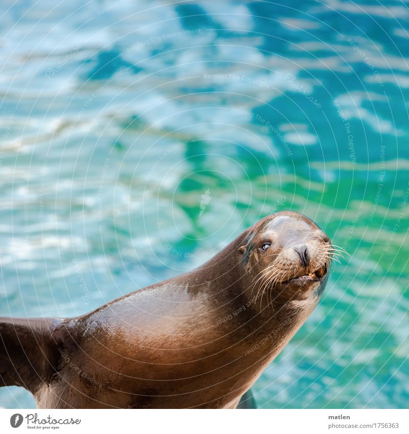 smiley Water Animal Wild animal 1 Smiling Athletic Maritime Wet Blue Brown Sea lion Show your teeth Wink Colour photo Exterior shot Close-up Deserted