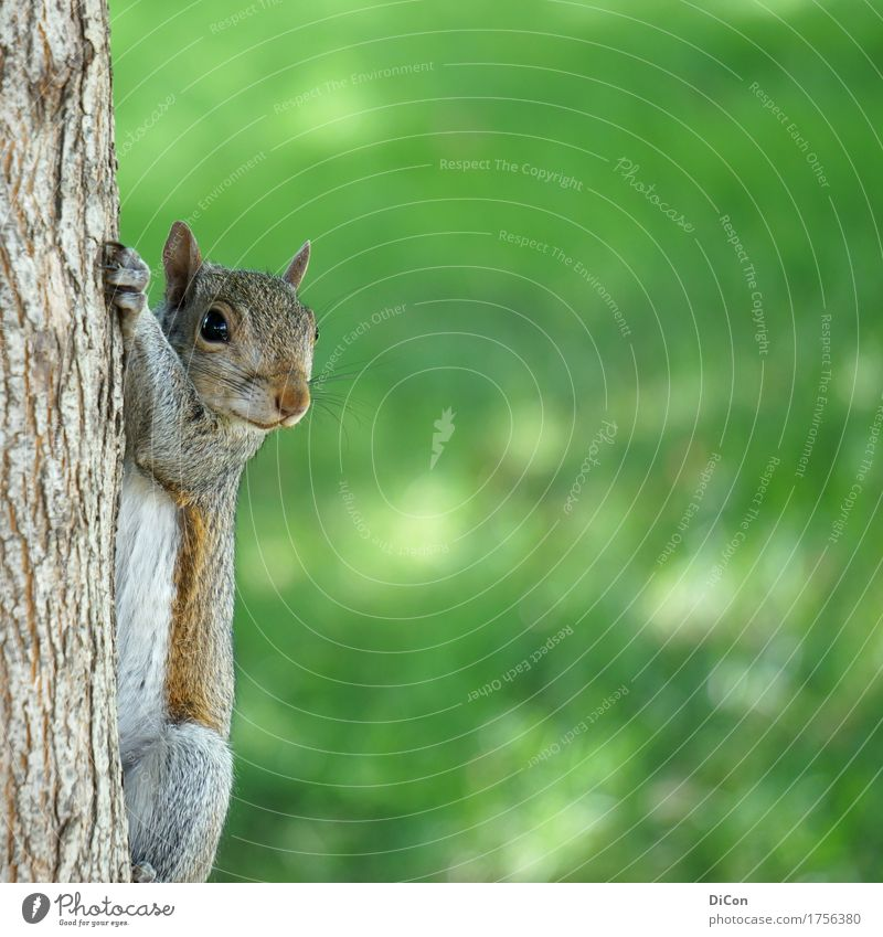 Curious rodent Nature Tree Park Animal Wild animal Squirrel 1 Observe Hang Brash Cuddly Curiosity Cute Green Watchfulness Interest Colour photo Exterior shot
