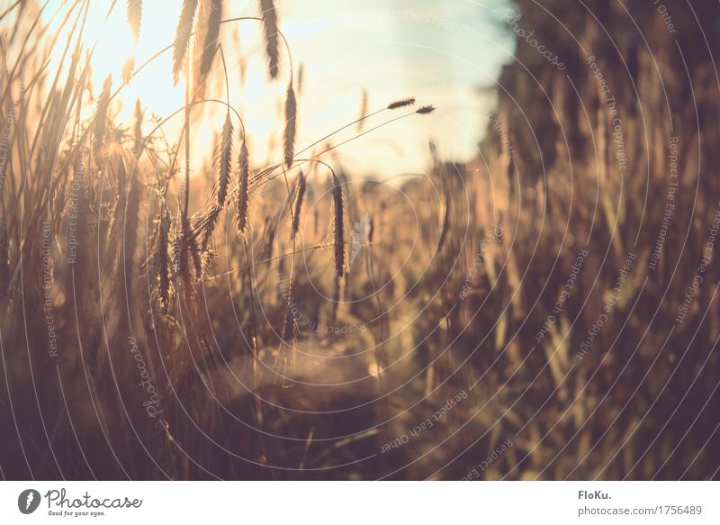 Golden Autumn Grain Gardening Agriculture Forestry Environment Nature Plant Sun Sunrise Sunset Sunlight Beautiful weather Grass Agricultural crop Meadow Field