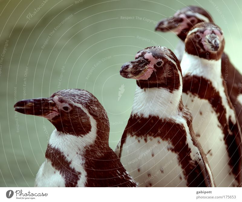 Animal Wait Walking Wet Swimming pool Group of animals Stand Zoo Cute Row Sunbathing Beak Queue Penguin Multiple Sequence