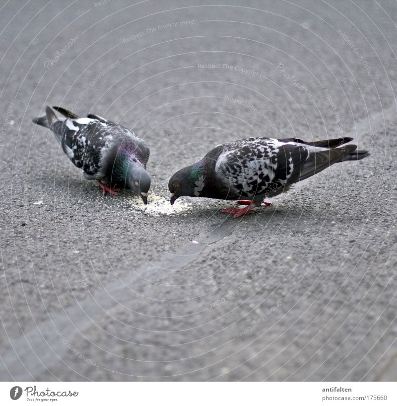 Dinner for Two Breadcrumbs Pedestrian precinct Street Pavement Animal Wild animal Bird Pigeon Wing Beak 2 Pair of animals Feeding Trust Agreed Sympathy