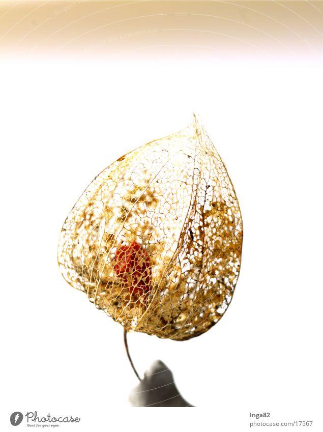 Belladonna01 Deadly nightshade Plant Nature Limp