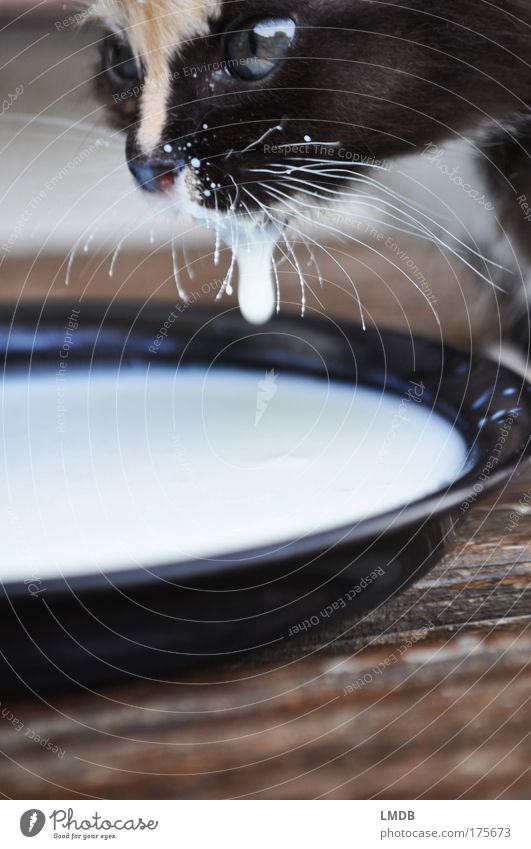 Every drop counts! Colour photo Exterior shot Detail Copy Space bottom Animal portrait Looking away Pet Cat Pelt 1 Baby animal Drinking Fluid Black White Kitten