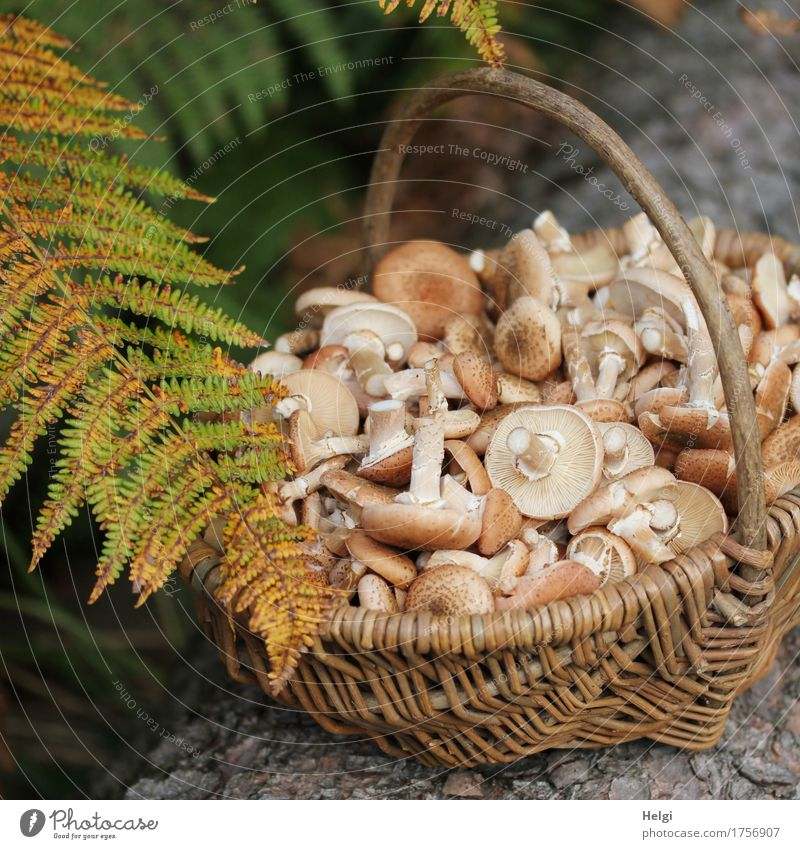 Mushroom season begins Environment Nature Plant Autumn Leaf Wild plant Fern Fern leaf Tree trunk Forest Basket Wood Lie Stand Growth Exceptional Fragrance Small