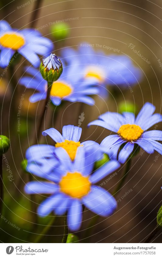 summer flower Nature Plant Summer Flower Blossom Daisy Garden Blue Colour photo Exterior shot Close-up Detail Macro (Extreme close-up) Copy Space top Day