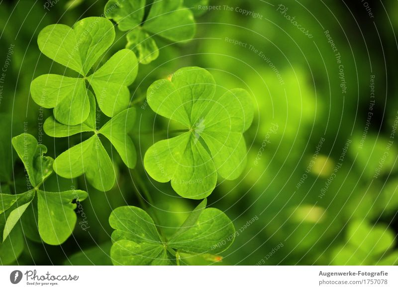 shamrock Plant Summer Leaf Foliage plant Clover Cloverleaf Meadow Forest Green Happy Colour photo Exterior shot Macro (Extreme close-up) Copy Space right Day