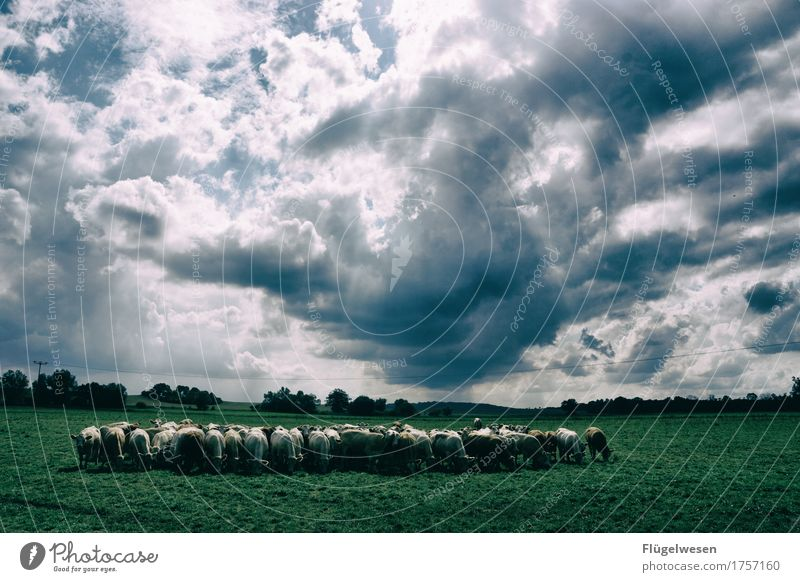 herd instinct Food Meat Dairy Products Nutrition Eating Milk Environment Nature Clouds Summer Climate Meadow Field Animal Pet Farm animal Group of animals Herd