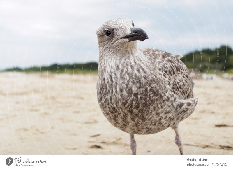 What do you want?!! Vacation & Travel Ocean Eyes Beach Baltic Sea Ahlbeck Heringsdorf Usedom Animal Wild animal Bird Animal face Wing Seagull Silvery gull
