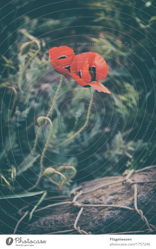 poppy wire fence Vacation & Travel Tourism Trip Environment Nature Landscape Plant Animal Climate Flower Grass Bushes Moss Leaf Blossom Foliage plant