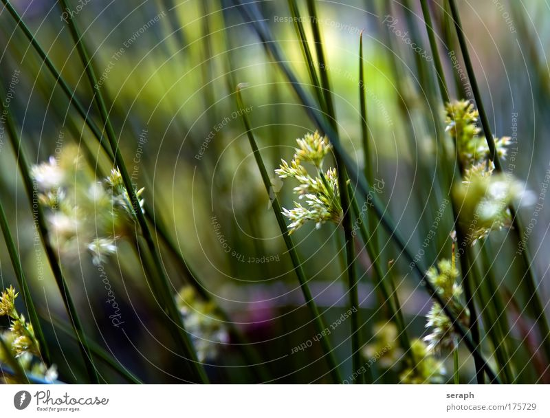 Nature Flower Grass Blossom Environment Growth Blossoming Common Reed Botany Plant Grassland Biology Verdant Floral Medicinal plant Walking stick