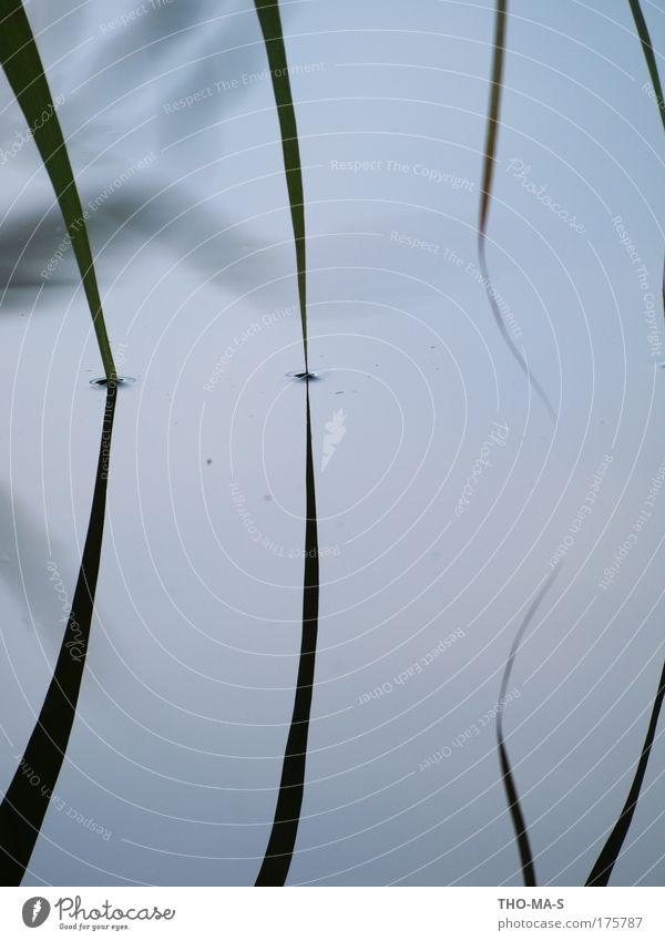 Dive in together Landscape Animal Water Plant Grass Foliage plant Lakeside Common Reed Blade of grass dale Netherlands Stripe Circle Touch Infinity Near Point