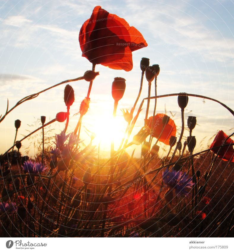 Poppy Nature Flower meadow Sky Blue Plant Red Summer Clouds Yellow Meadow Blossom Grass Park Back-light Warmth