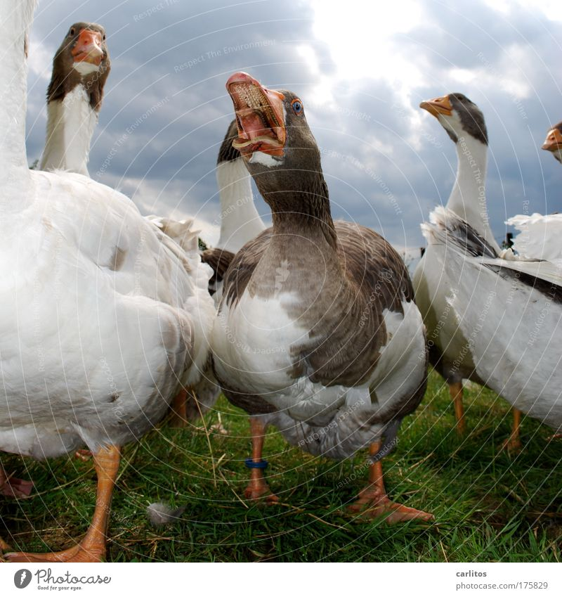 ROAST GOOSE ?!???????? Can you forget .... Wide angle Animal portrait Meadow Village Pet Grand piano Goose feathers Poultry Group of animals Observe Looking