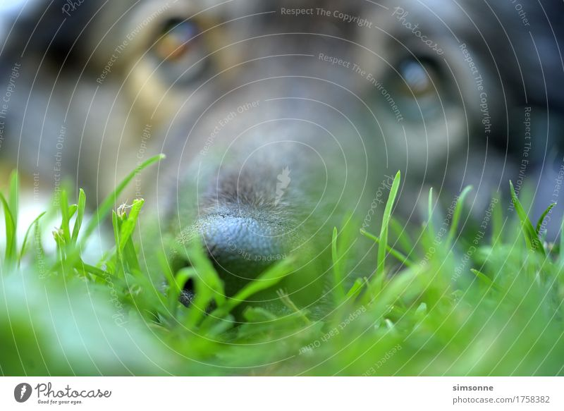 Dog nose dog in the grass Calm Earth Grass Meadow Animal Pet 1 Observe Listening Lie Looking Sleep Wait Happiness Curiosity Cute Positive Green Black Fatigue