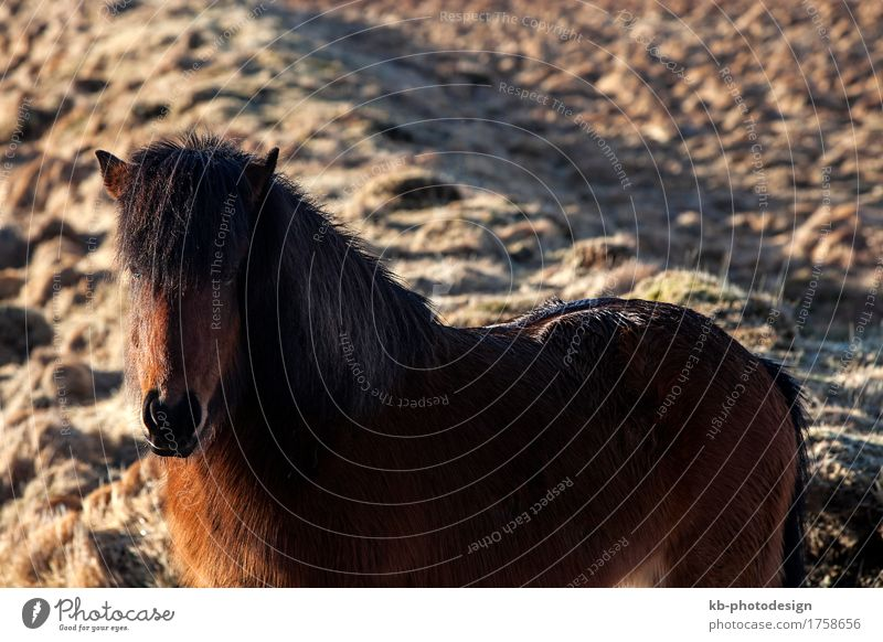 Brown Icelandic pony on a meadow Ride Vacation & Travel Tourism Adventure Far-off places Winter Pet Horse 1 Animal Iceland pony Iceland ponies brown Bangs