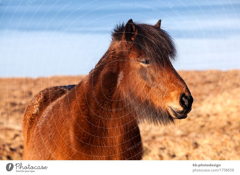Brown Icelandic pony on a meadow in Iceland Ride Vacation & Travel Tourism Far-off places Freedom Winter Pet Horse 1 Animal Iceland pony Iceland ponies brown