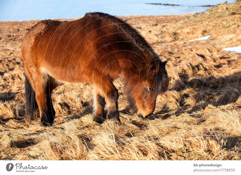 Brown Icelandic pony on a meadow in Iceland Ride Vacation & Travel Tourism Adventure Far-off places Winter Pet Horse 1 Animal Iceland pony Iceland ponies brown