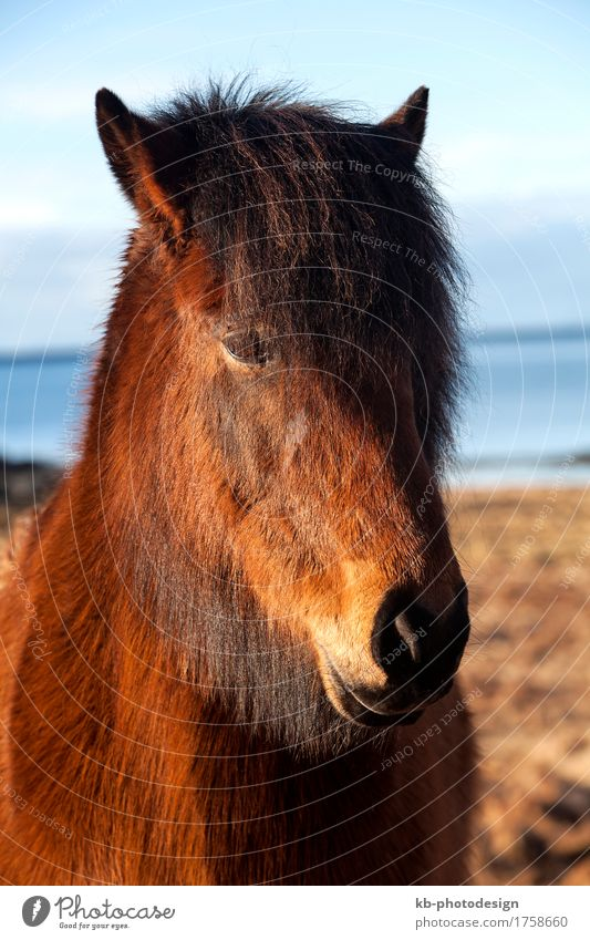 Brown Icelandic pony Ride Vacation & Travel Tourism Adventure Far-off places Winter Pet Horse 1 Animal Iceland pony Iceland ponies brown Bangs horses mammal