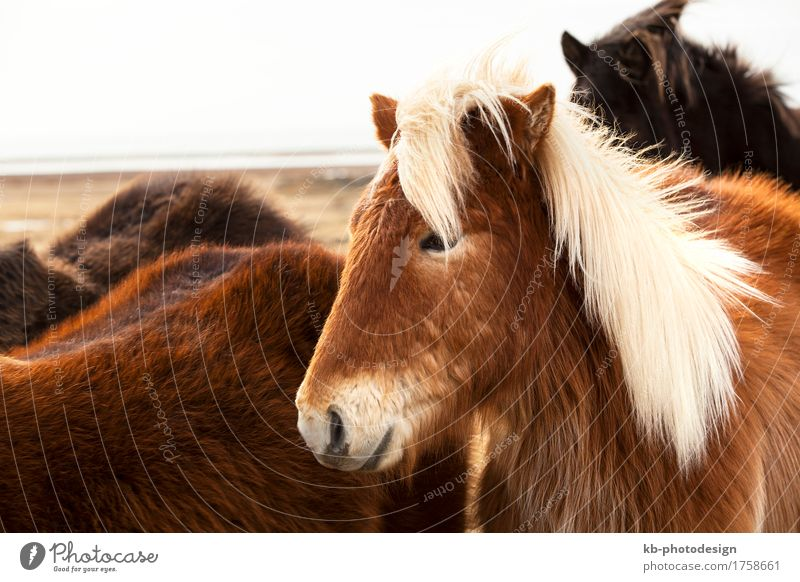 Portrait of an Icelandic pony Ride Vacation & Travel Tourism Adventure Far-off places Winter Farm animal Horse 1 Animal Herd Iceland pony Iceland ponies brown