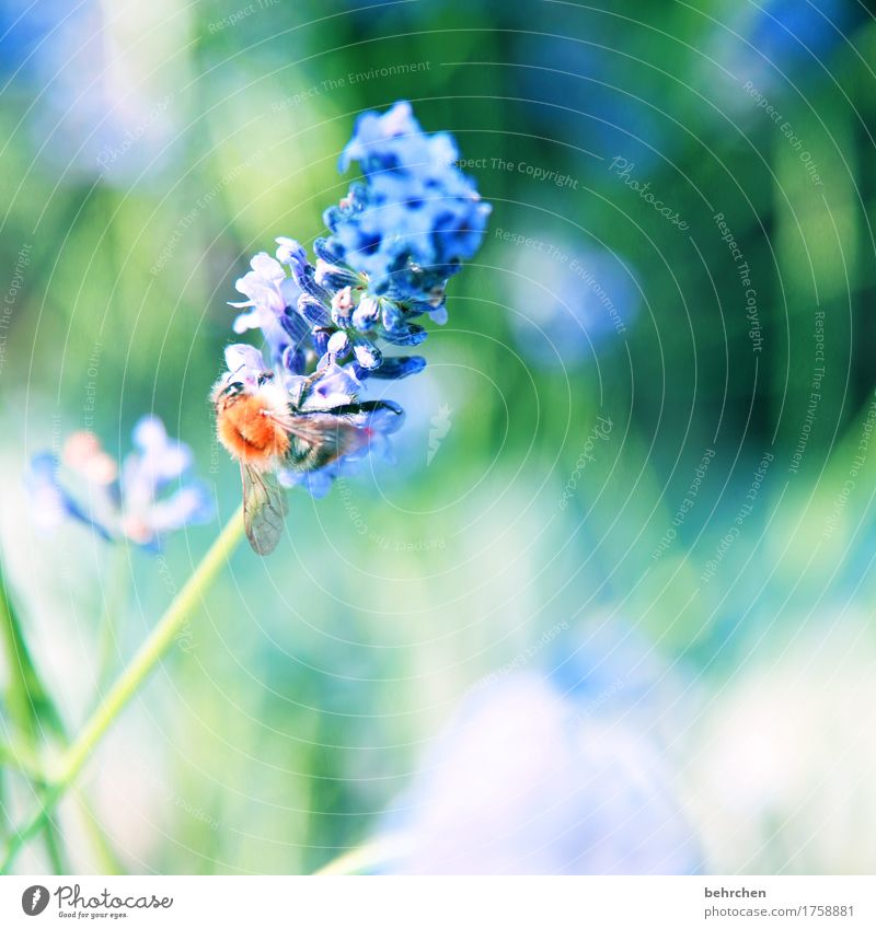...WILL... Nature Plant Animal Summer Beautiful weather Flower Leaf Blossom Lavender Garden Park Meadow Wild animal Bee Animal face Wing 1 Observe Blossoming