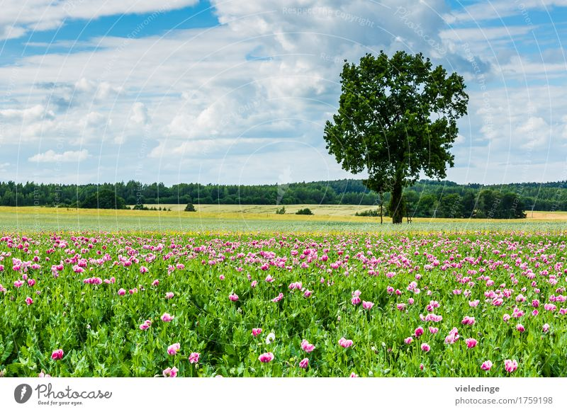 Poppy field at the roadside Trip Summer Nature Landscape Plant Clouds Spring Beautiful weather Tree Flower Blossom Agricultural crop Meadow Field Blossoming
