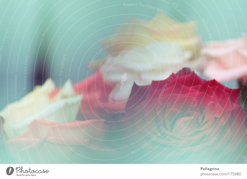 turquoise Colour photo Exterior shot Close-up Shallow depth of field Fog Flower Rose Blossom Moody Day