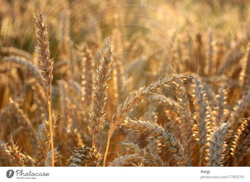 golden glowing... Food Grain Wheat Environment Nature Landscape Plant Summer Beautiful weather Agricultural crop Field Illuminate Stand Growth Authentic
