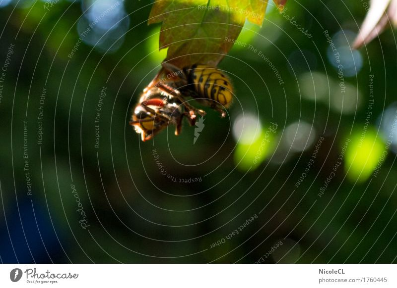 Hornet after hunting Nature Animal Animal face Wing 1 Eating Flying Hang Aggression Threat Small Wild Yellow Black Power Dangerous Voracious Colour photo