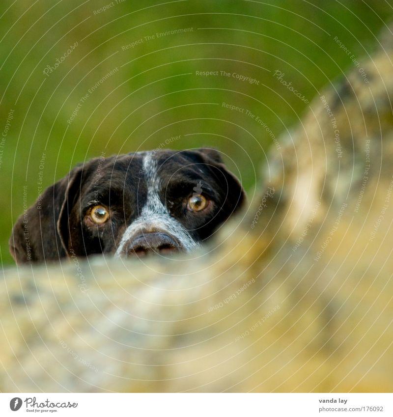 Eyes Animal Dog Nose Hunting Watchfulness Pet Loyalty Honest Hound