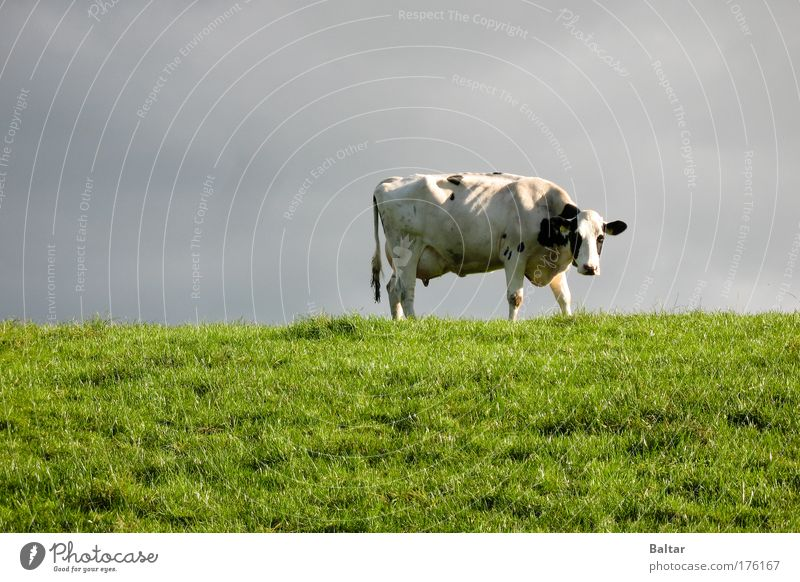 Sky Nature Green Animal Meadow Grass Gray Sadness Wait Stand Gloomy Thin Stress Cow Fatigue Boredom