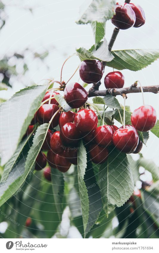 ripe fresh organic cherries Food Fruit Cherry Cherry tree Cherry tree bark Cherry tree wood Fuit growing Fruit trees Nutrition Eating Picnic Organic produce