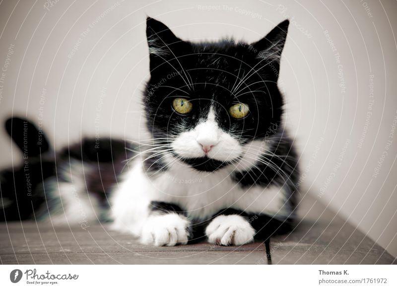 Katsirakis Mitsikazis Animal Pet Cat Animal face Pelt Claw Paw 1 Old Lie Eyes Black & white photo Subdued colour Exterior shot