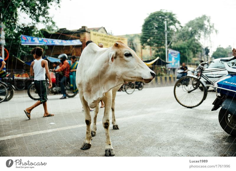 Holy cow? Vacation & Travel Tourism Trip Adventure Far-off places Sightseeing City trip Varanasi India Town Downtown Transport Means of transport