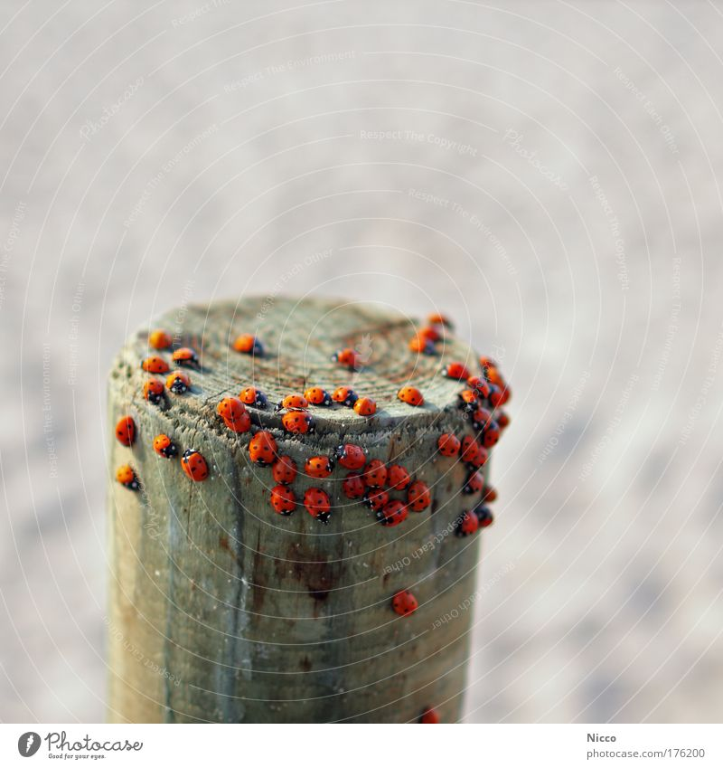 Red Animal Group of animals Point Ladybird Beetle Pole Crawl Flock Wooden stake Insect Structures and shapes