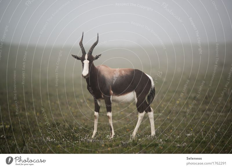 Bontebok Vacation & Travel Tourism Trip Adventure Far-off places Safari Expedition Environment Nature Fog Meadow Animal Wild animal Animal face Antlers 1