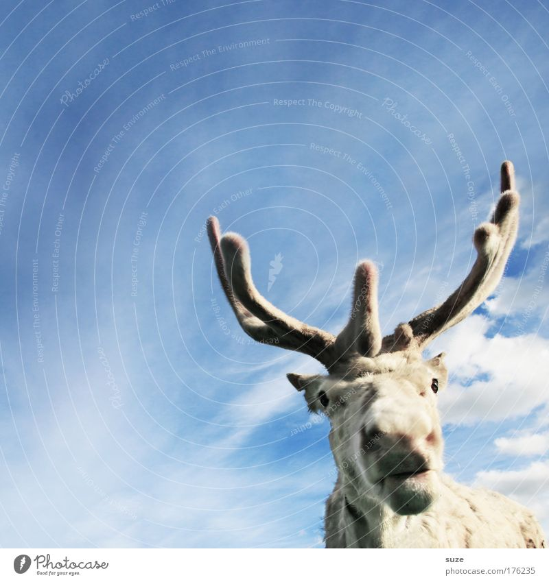 rudi Lifestyle Environment Sky Animal Farm animal Wild animal Reindeer 1 Funny Cute Blue White Hope Belief Assistant Antlers Animal face Fantastic Colour photo
