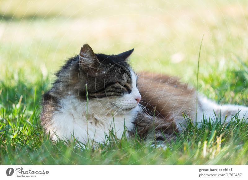 Cat Green Animal Meadow Grass Wild animal Authentic Uniqueness Observe Pelt Pet Wisdom Doze Goof off