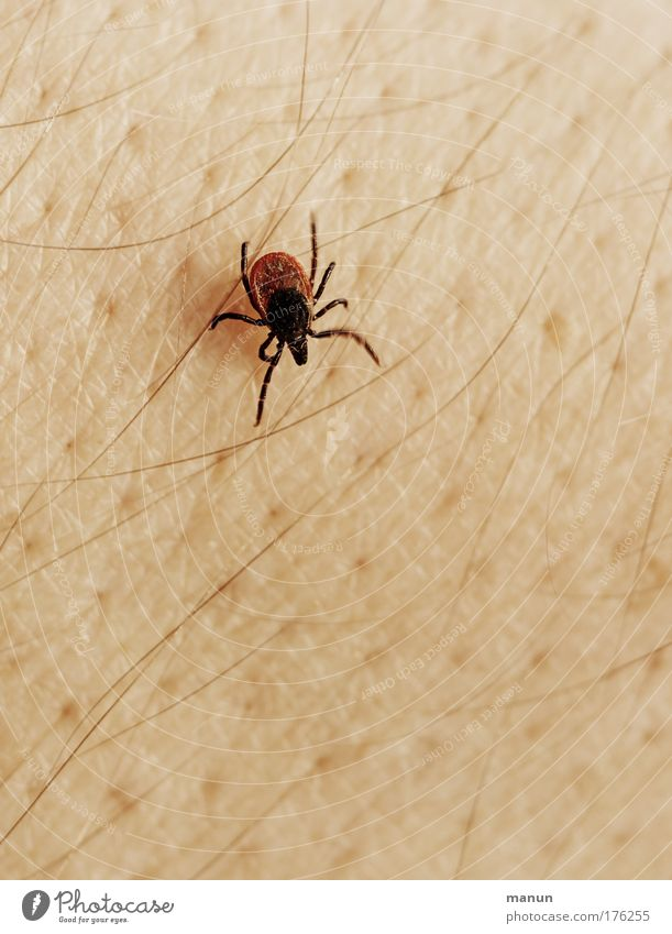 dung cattle Skin Summer Animal Wild animal Parasite Tick Pests 1 Crawl Authentic Disgust Fear Dangerous Aggravation Animosity Threat Pain Protection Concern