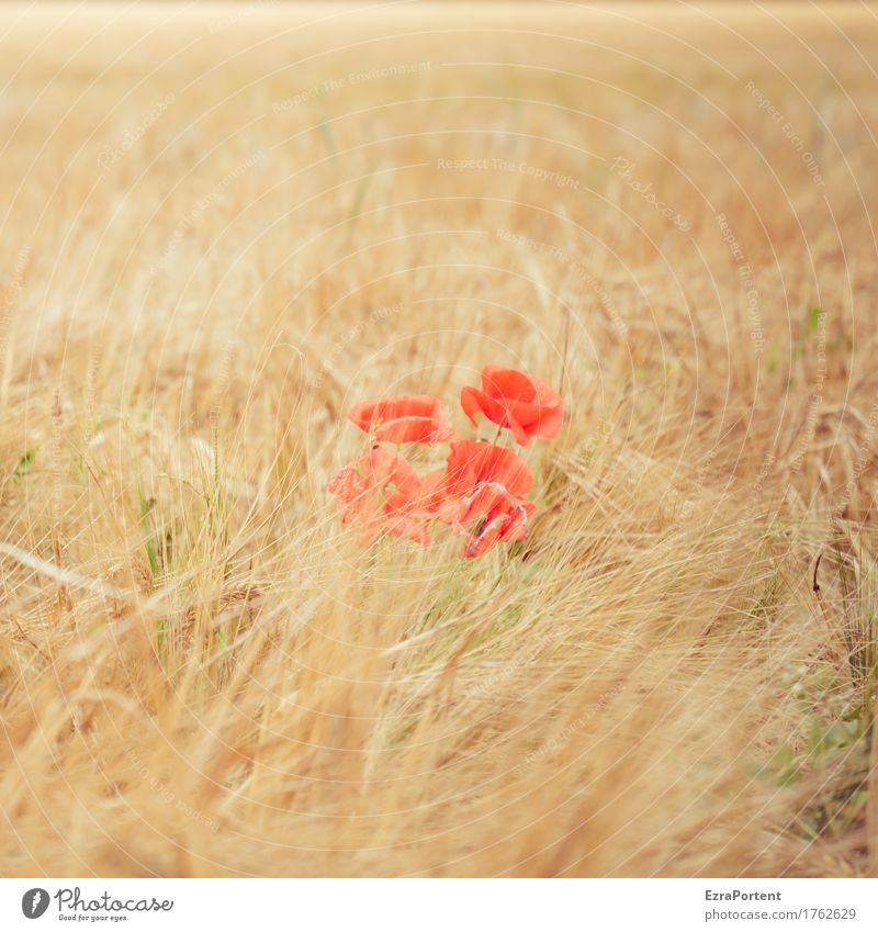 Poppy week (middle) Environment Nature Landscape Plant Summer Autumn Climate Beautiful weather Blossom Field Yellow Red Poppy blossom Grain Grain field
