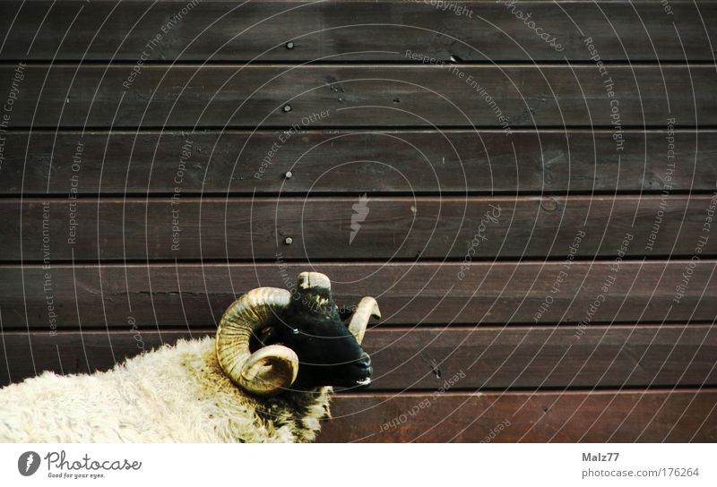 Sheep in sheep's clothing Colour photo Subdued colour Exterior shot Deserted Copy Space right Copy Space top Animal portrait Farm animal Pelt 1 Aggression