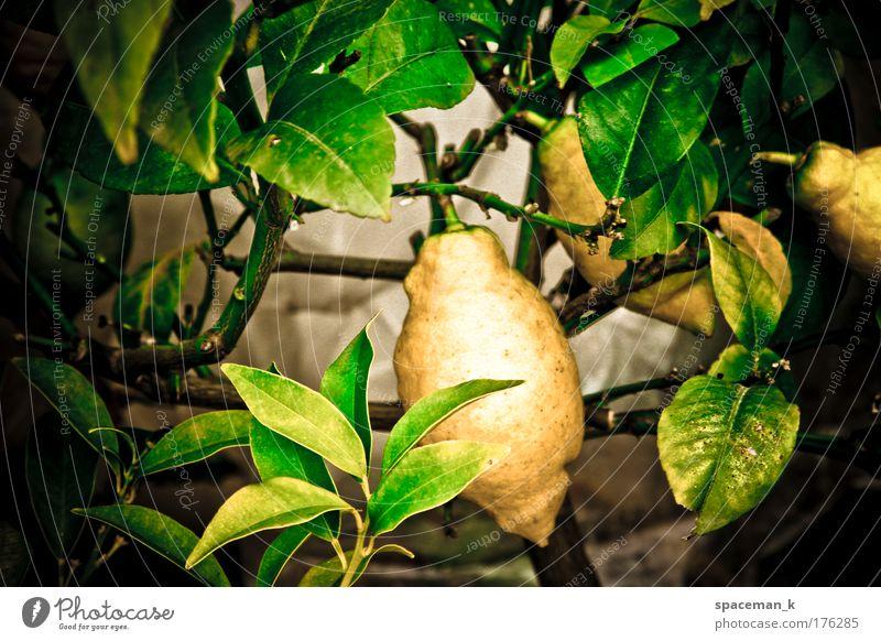 lemon Colour photo Multicoloured Exterior shot Detail Day Contrast Shallow depth of field Central perspective Food Fruit Plant Foliage plant Pot plant Exotic