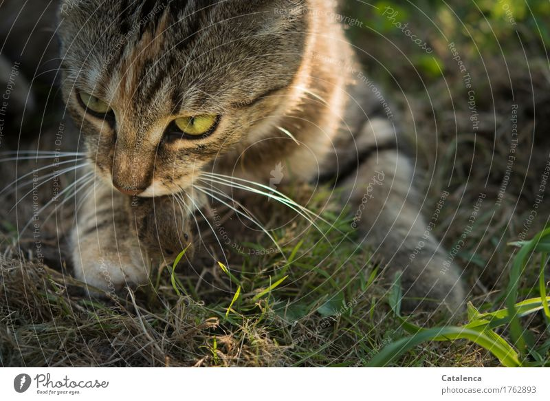 mouse fate Hunting Plant Animal Summer Grass Field Pet Wild animal Cat Mouse 2 To feed Success Creepy Speed Brown Yellow Green Black Emotions Grief