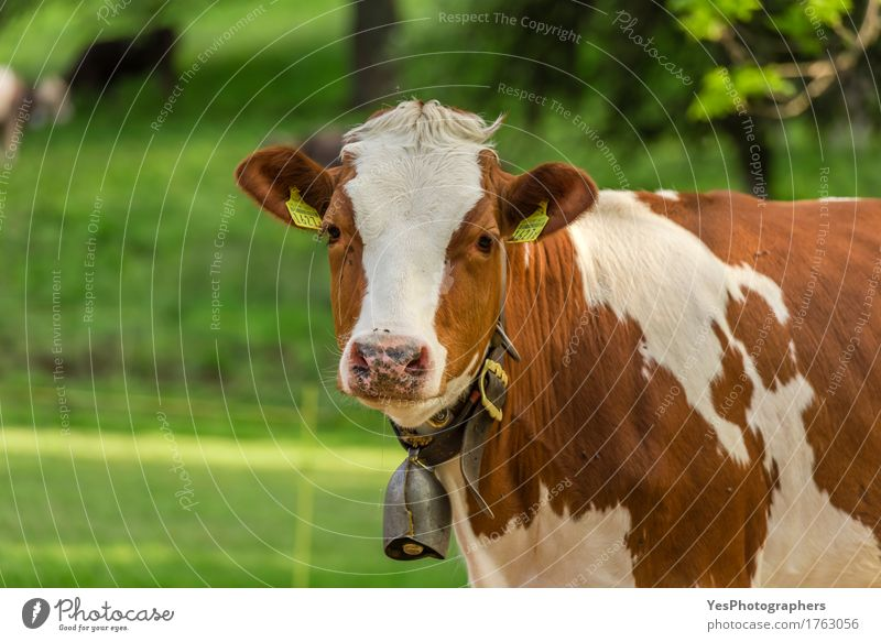 Swiss young cow Nature Animal Spring Summer Natural Brown White agriculture Alpine animals breed big calf bovine bovine ranch cattle bell country Domestic eco